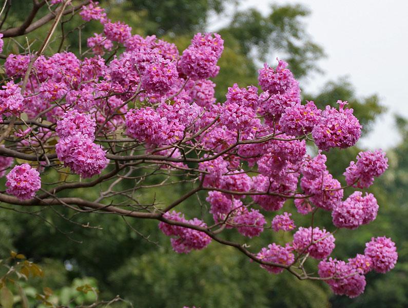 Tabebuia_impetiginosa_(Pink_Trumpet_tree)_in_Hyderabad,_AP_W_IMG_2605